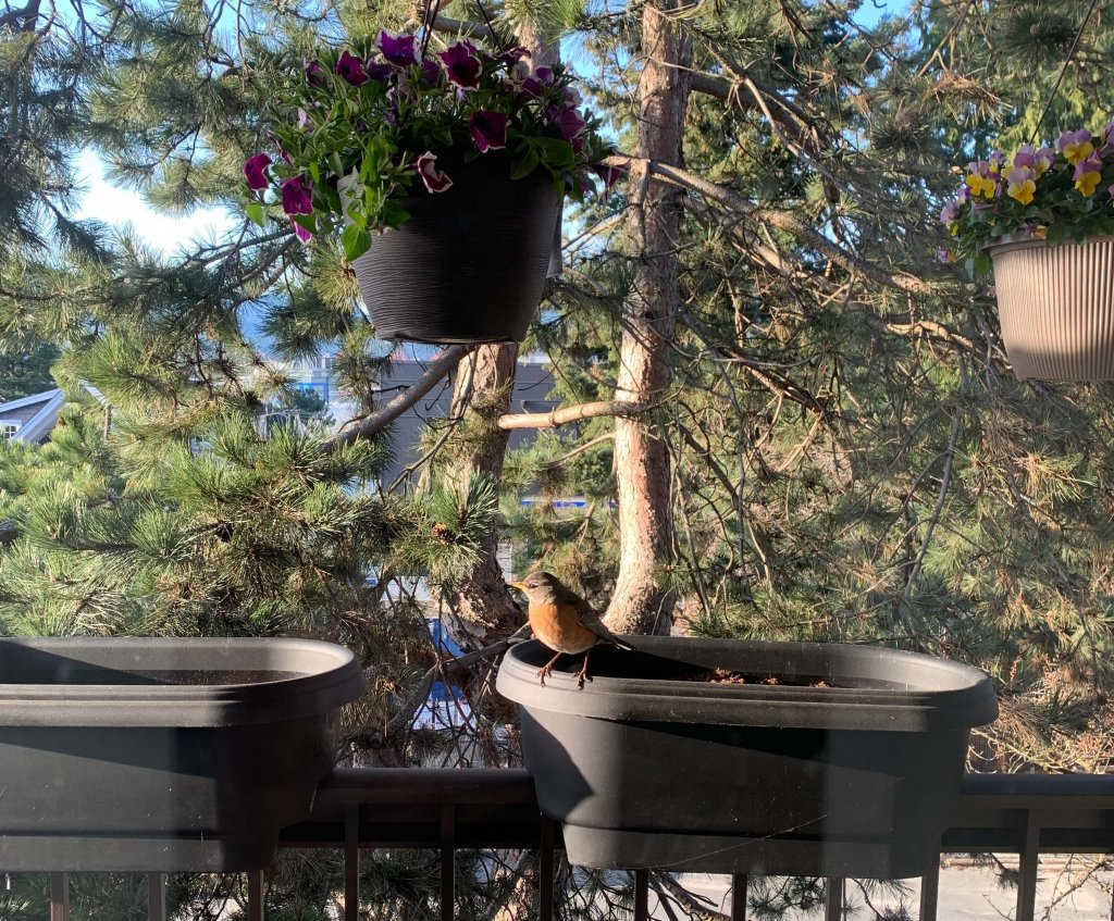 A male robin sat on a balcony plant box. A coniferous tree is in the background. The robin is about to fly into the window in front of it. For the millionth time today because he is an idiot.