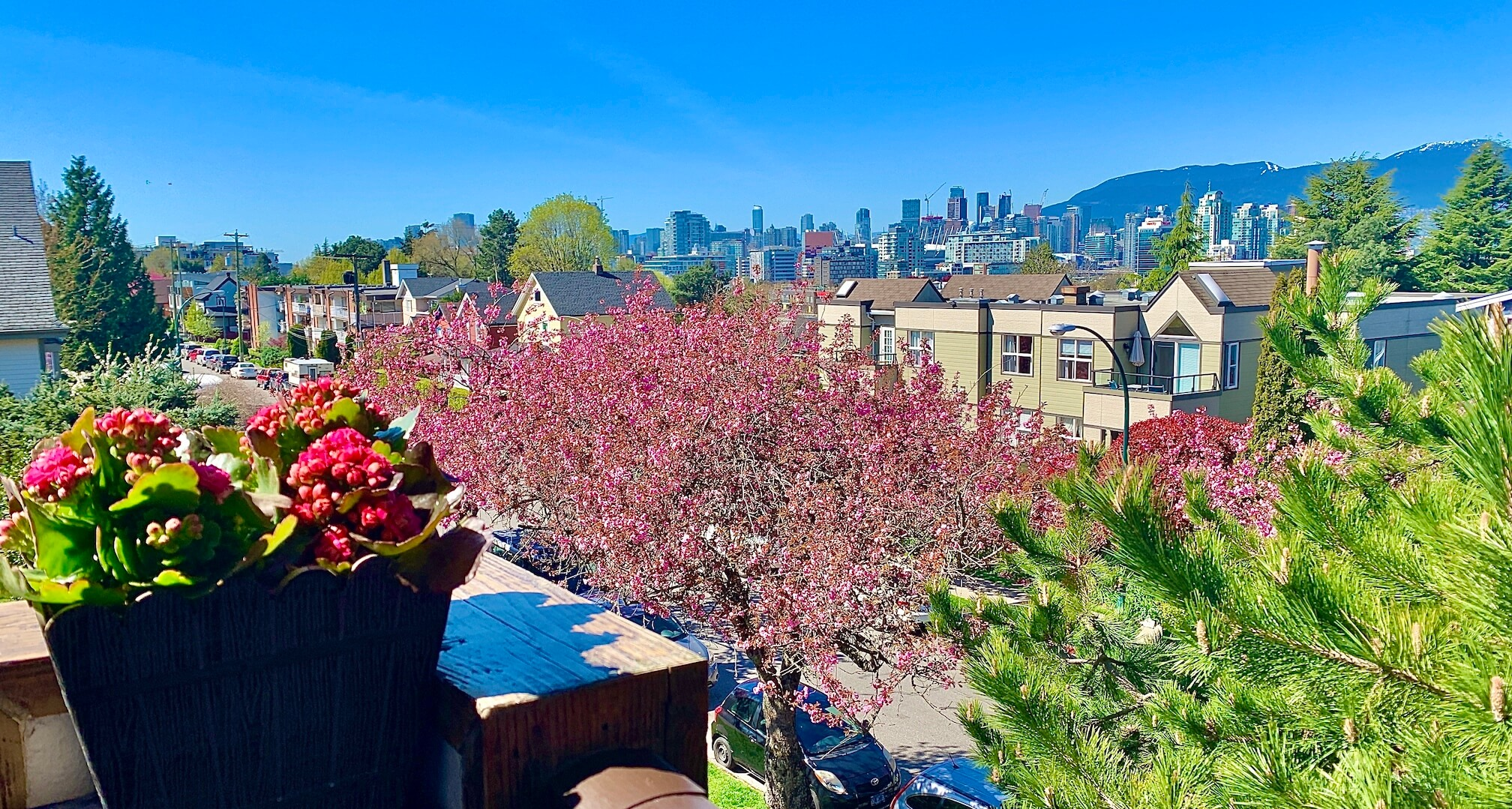 The Vancouver, BC downtown skyline with the North Shore mountains in the background and a brilliant blue sky. In the foreground is a newly blossoming cherry blossom tree.