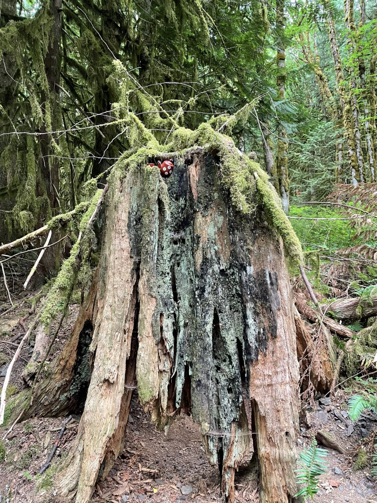 A picture of a red teapot with white spots nestled on top of an old tree trunk as part of the Teapot Hill hike in Cultus Lake.