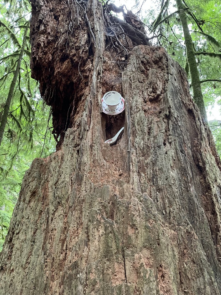 A picture of a white teacup and saucer stuck vertically - probably with glue - in a tree trunk as part of the Teapot Hill hike in Cultus Lake.